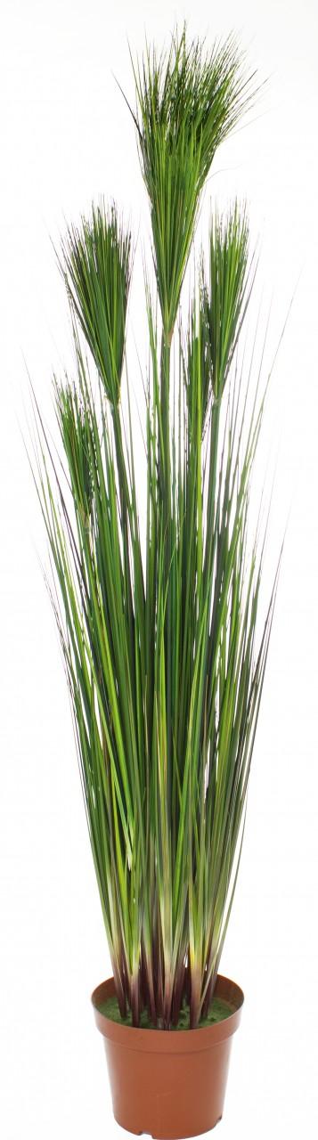 ZWIEBELGRAS, 60 cm, rot/grün